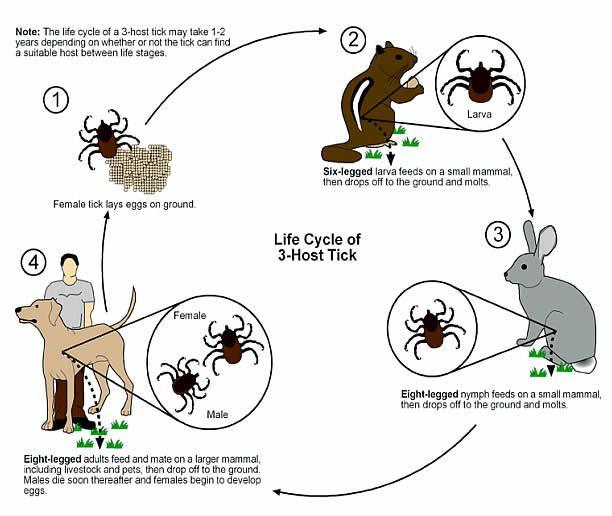 ciclo-garrapata